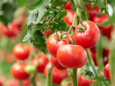 que sabes del tomate